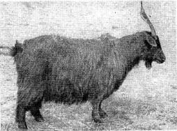 Башкирская коза