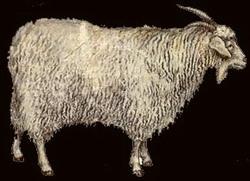 Придонская пуховая коза