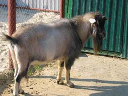 Русская пуховая коза